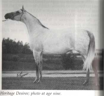 HERITAGE DESIREE #63631 (El Magato x Al-Marah Countess Sparkle by *Count D'orsaz) 1970 grey mare bred by Heritage Hills Arabians; 1975 US National Champion Mare