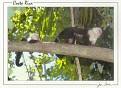 White Faced Monkeys