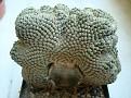 Euphorbia piscidermis cristata