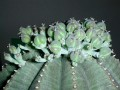 Euphorbia obesa ssp. obesa -b