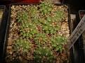 Mammillaria erythra - Rep. 879