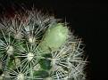 Mammillaria buxbaumiana - ML 142