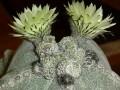 Astrophytum myriostigma