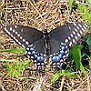 BlackSwallowtailButterfly1