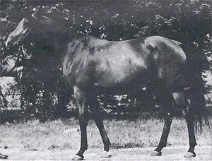 ABHAZJA #25446 (Omar II x Arfa, by Witraz) 1956-1979 bay mare imported to USA 1963 by Ed Tweed. Dam of 1 foal in Poland; 8 in USA.