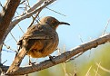 Curve-billed Thrasher-Toxostoma curvirostre