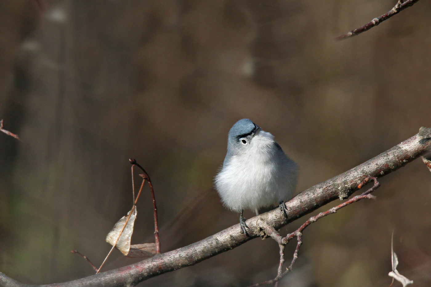 Gnatcatcher #2