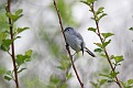 Blue Gray Gnatcatcher #16