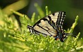 Spring Swallowtail Butterfly