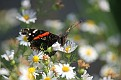 Red Admiral on Wild Asters #2