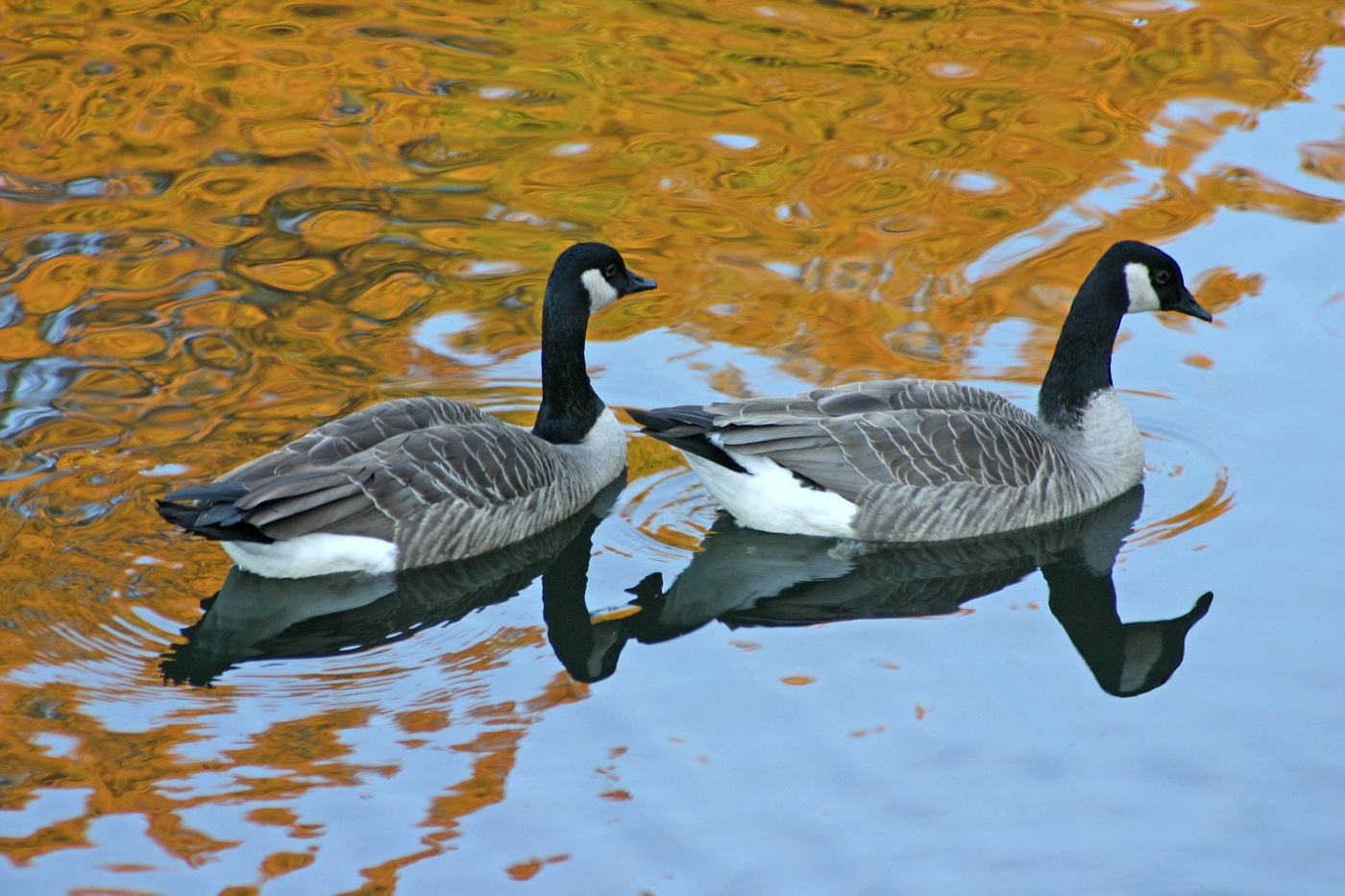 Geese on Golden Pond