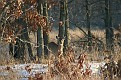 Winter Afternoon White Tailed Deer 3