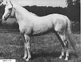 AZKAR #1109 (Rahas x *Aziza) 1935 grey stallion bred by W.R. Brown