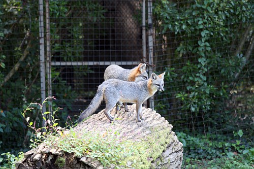 Silver foxes at Maymont Park