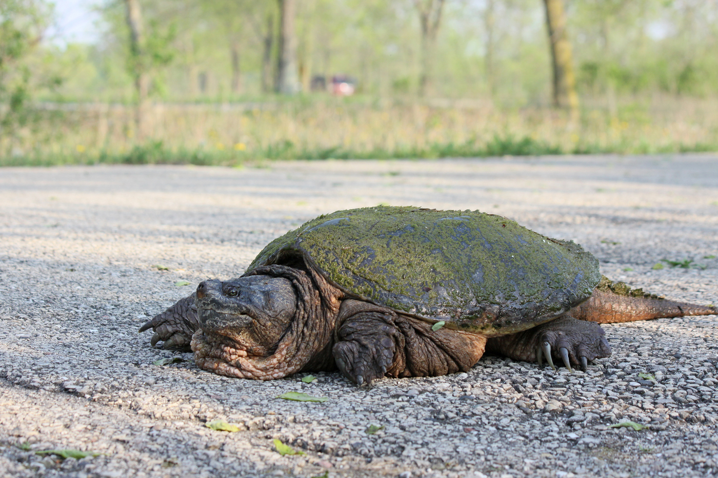 Snapping Turtle #6