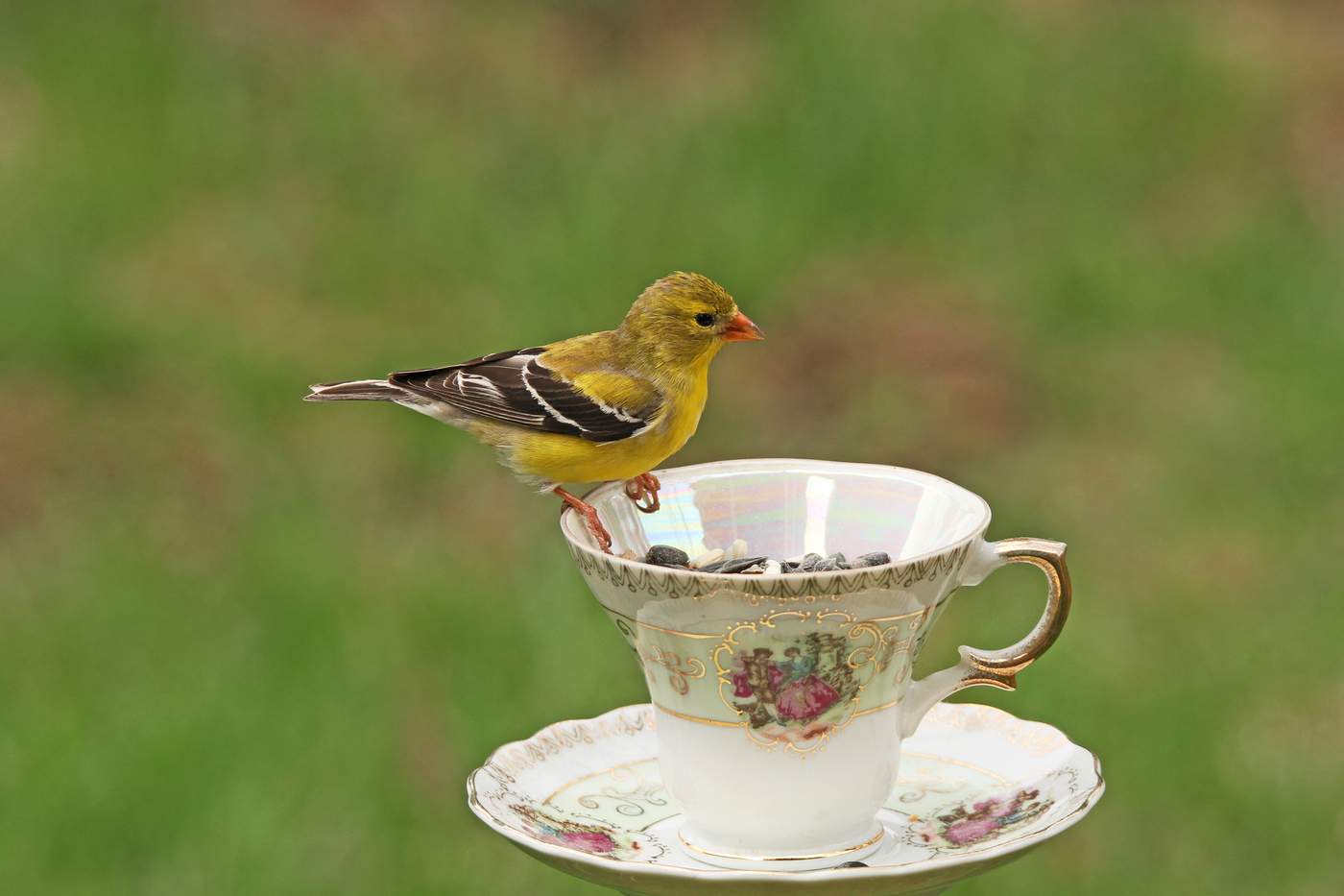 Goldfinch Teacup #14