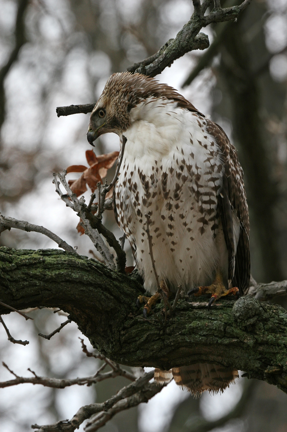 Juvenile Red Tailed Hawk #3