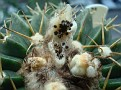 Parodia sellowii