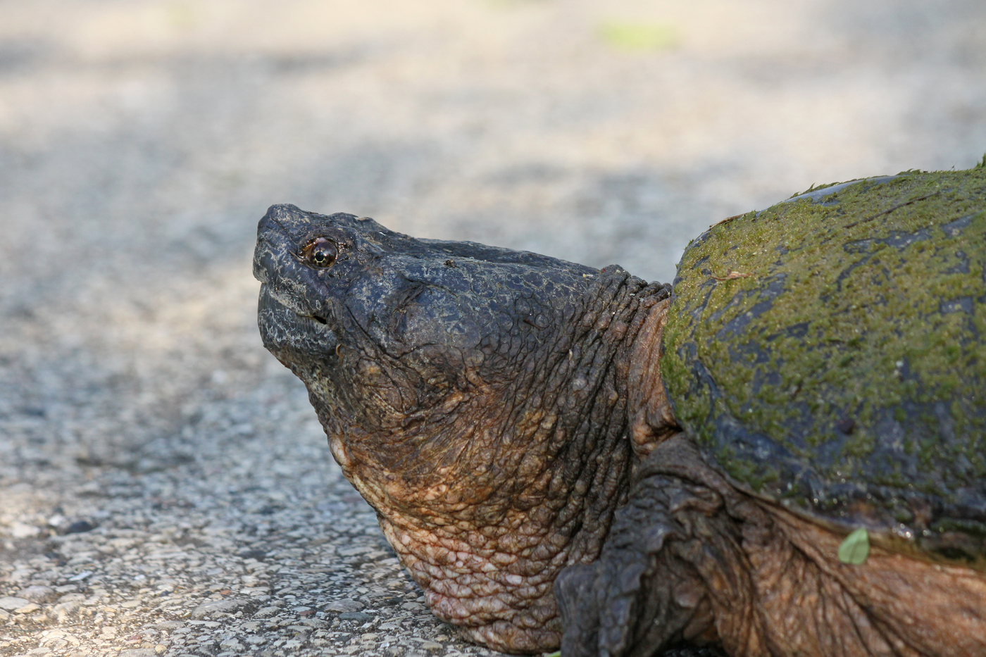 Snapping Turtle #11