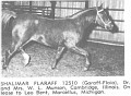 SHALIMAR FLARAFF #12510 (Garaff x Flaia, by *Raffles) 1957-1982 chestnut stallion bred by Dr & Mrs Bill Munson; sired 52 registered purebreds