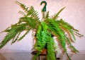 boston fern 100 6719