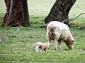 Newborn Lamb on Yarras Lane Bathurst 001
