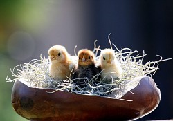 3 chicks in a bowl