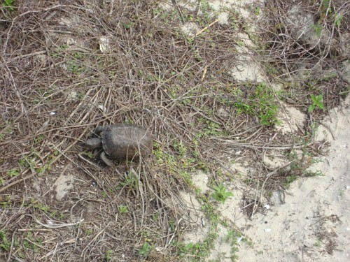 z Amelia Island sitting in the back after Sunday's car show watching George the Florida Gopher Tortoise in the dunes looking for food