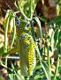 Panther-spotted Grasshopper