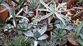 Nursery some Agave not in Collection yet