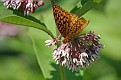 Great Spangled Fritillary #8