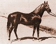 ANTEZ #448 (Harara x Moliah, by *Hamrah) 1921 chestnut stallion bred by Diamond Bar Ranch/ FE Lewis II; sired 63 registered purebreds