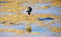 Plover in the Wynnum wading pool 008