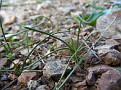 Romulea columnae new location in  Lycabettus by Apostolou (3)