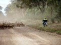 Droving a mob of sheep in the Pilliga 001