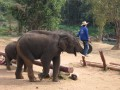Mae Ping Elephant Camp near Chiang Mai in Northern Thailand Day 12 Feb 23-2006 (88)