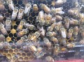The Single Queen Honey Bee is in the Middle.