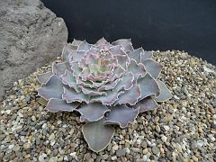 Echeveria 'Rippling Water'