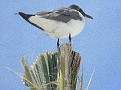 Laughing Gull figure head