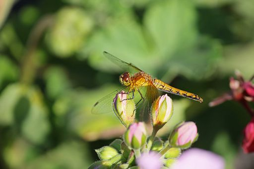 Bandwinged Meadowhawk #9
