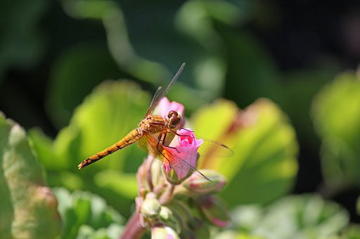 Bandwinged Meadowhawk #10