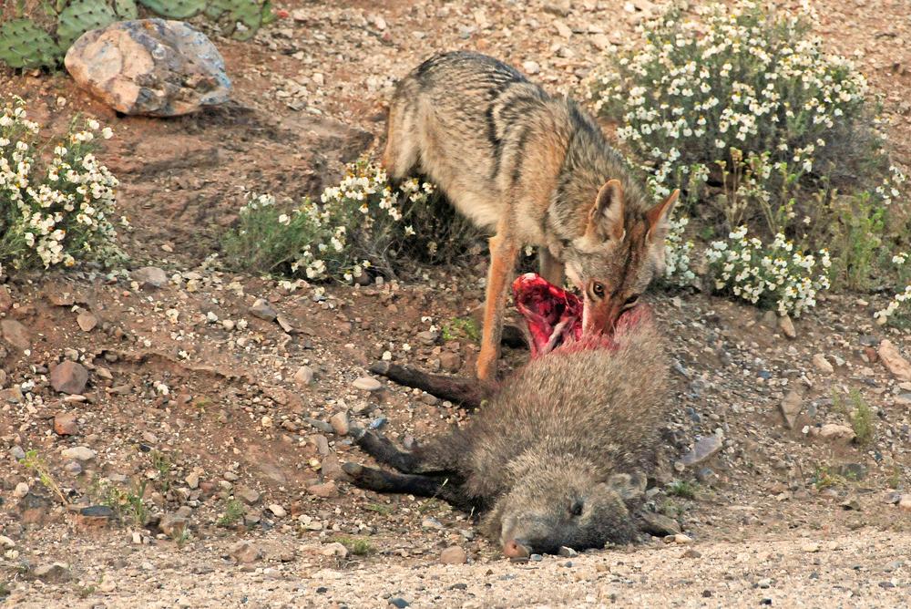 Coyote and Javelina