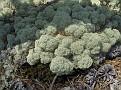 lichen and pine cones