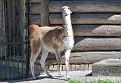 Калининград Лама Kaliningrad Zoo Lama DSC5774 036 1