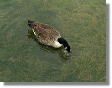 Goose Snack
