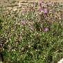 Ptilostemon chamaepeuce subsp  cyprius endemic (7)