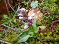 Orchis Lactea, Όρος Αιγάλεω (5)