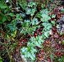 hederifolium