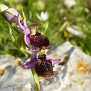 ophrys hybrid ferrum x mamosa ή ferrum x aesculapii (15)
