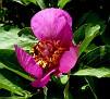 Paeonia mascula subsp  mascula (37)